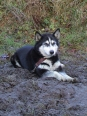 Siberian Husky, 1.5 years, Black